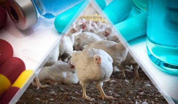 مصرف بی رویه و رو به افزایش آنتی بیوتیک ها در حیوانات، طیور و خطر بروز مجدد بیماریها در انسان، دام و طیور